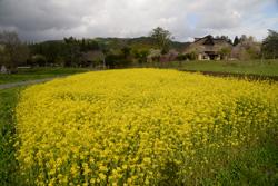 遠野ふるさと村の菜の花の風景